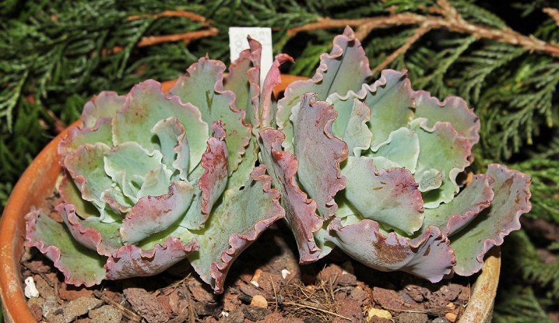 Echeveria ´Blue Waves´ 2009-141 (2a).jpg