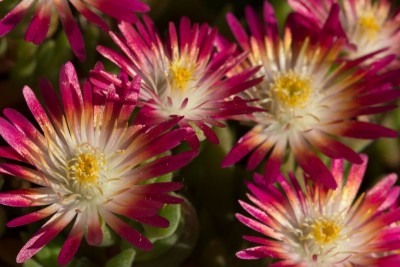 Delosperma, 'Jewel of Desert - Ruby'.jpg