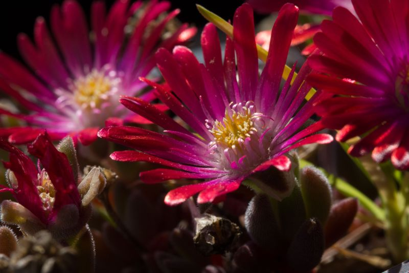 Delosperma, X 'Red Colours'.jpg