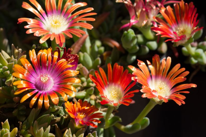 Delosperma 'Jewel of Desert Amethyst', dyeri 'Red Mountain'.jpg