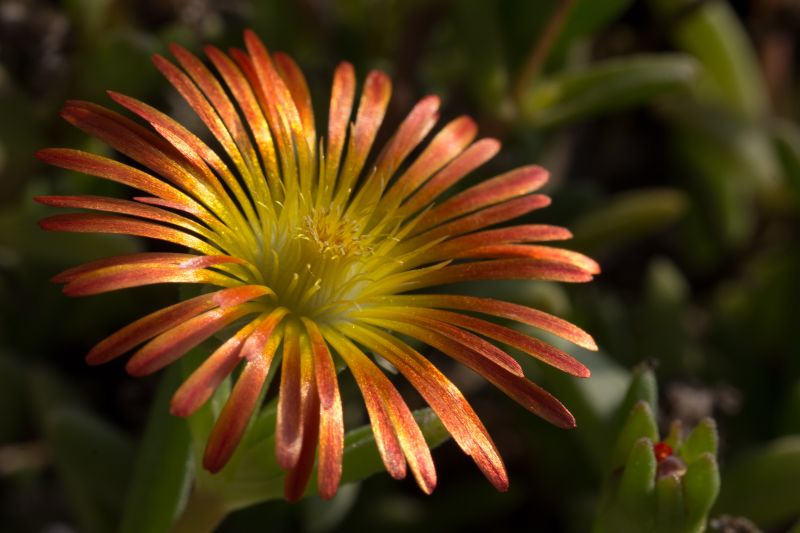 Delosperma 'Wheels of Wonder - Fire Wonder' 1.jpg