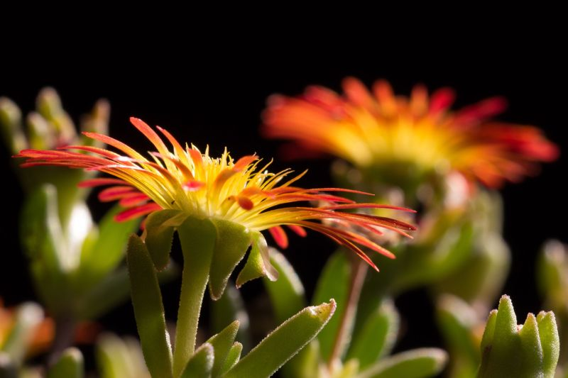 Delosperma 'Wheels of Wonder - Fire Wonder' 2.jpg