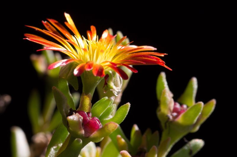 Delosperma 'Wheels of Wonder - Fire Wonder' 3.jpg