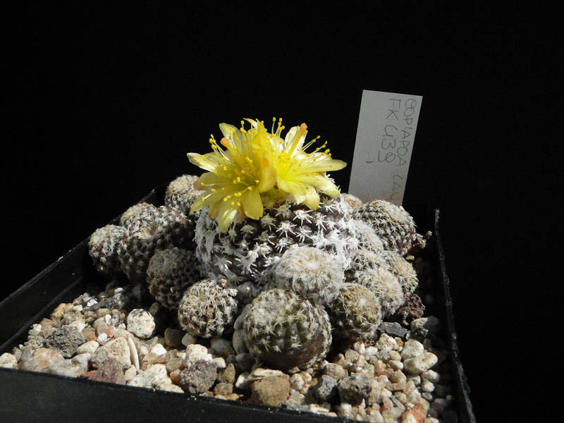 Copiapoa lauii FK439 2012 August12.jpg