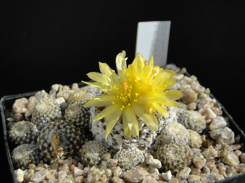 Copiapoa lauii FK439 2013 September19.jpg