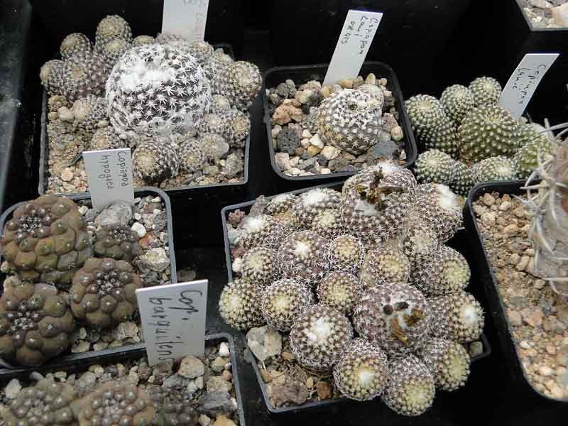 Copiapoa laui 2011 September20.jpg
