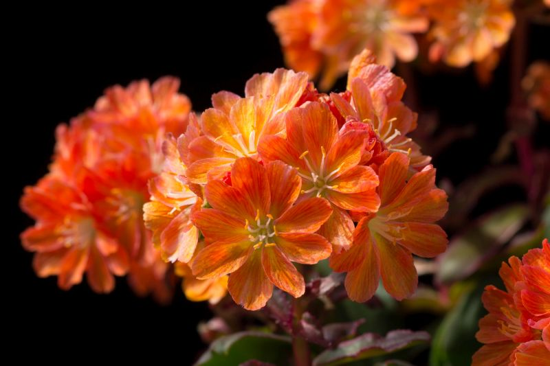 Lewisia cotyledon x orange WB20170507.jpg