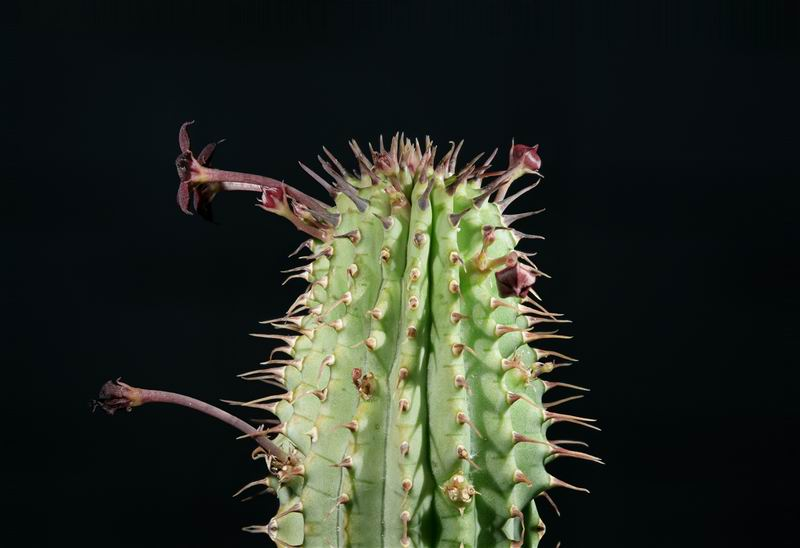 Hoodia mossamedensis (FH09,104) stacking 014.jpg